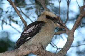 kookaburra1