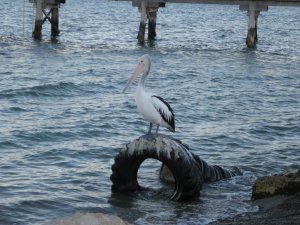 Pelicans Kangaroo Island2
