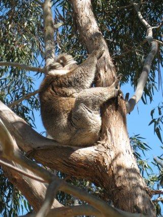 Koala, Kangaroo Island SA