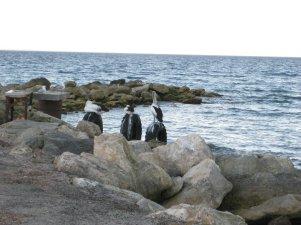 Pelicans, Kangaroo Island SA